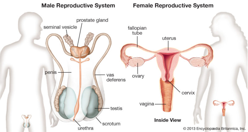 Difference between Male and Female Reproductive System