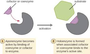 Difference between Cofactor and Coenzyme