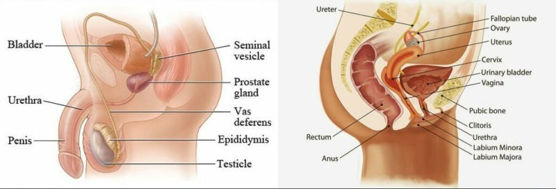 Difference between Male and Female Urethra