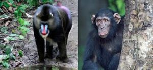 Difference between Monkey and Ape