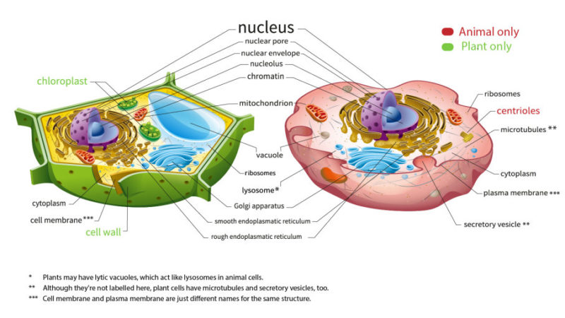 Difference between Plant and Animal Vacuole