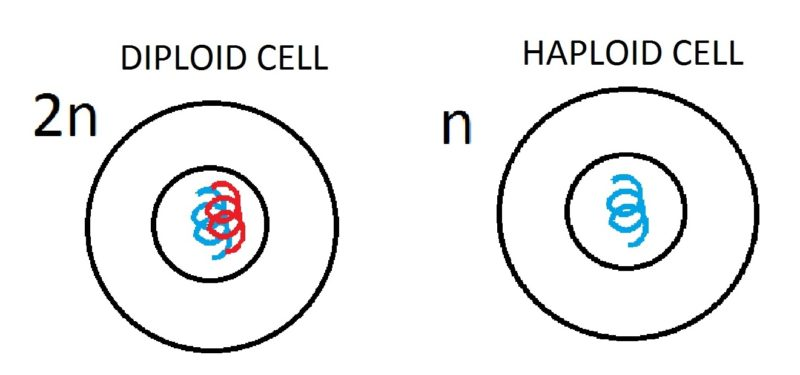 difference between haploid and diploid cells