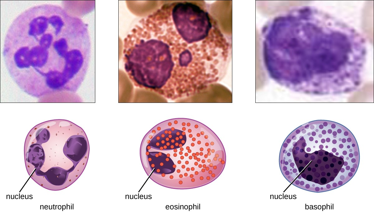 Difference Between Neutrophils, Eosinophils and Basiophils