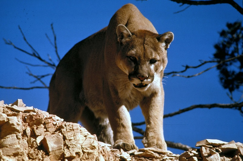 Difference Between Cougar and Mountain Lion