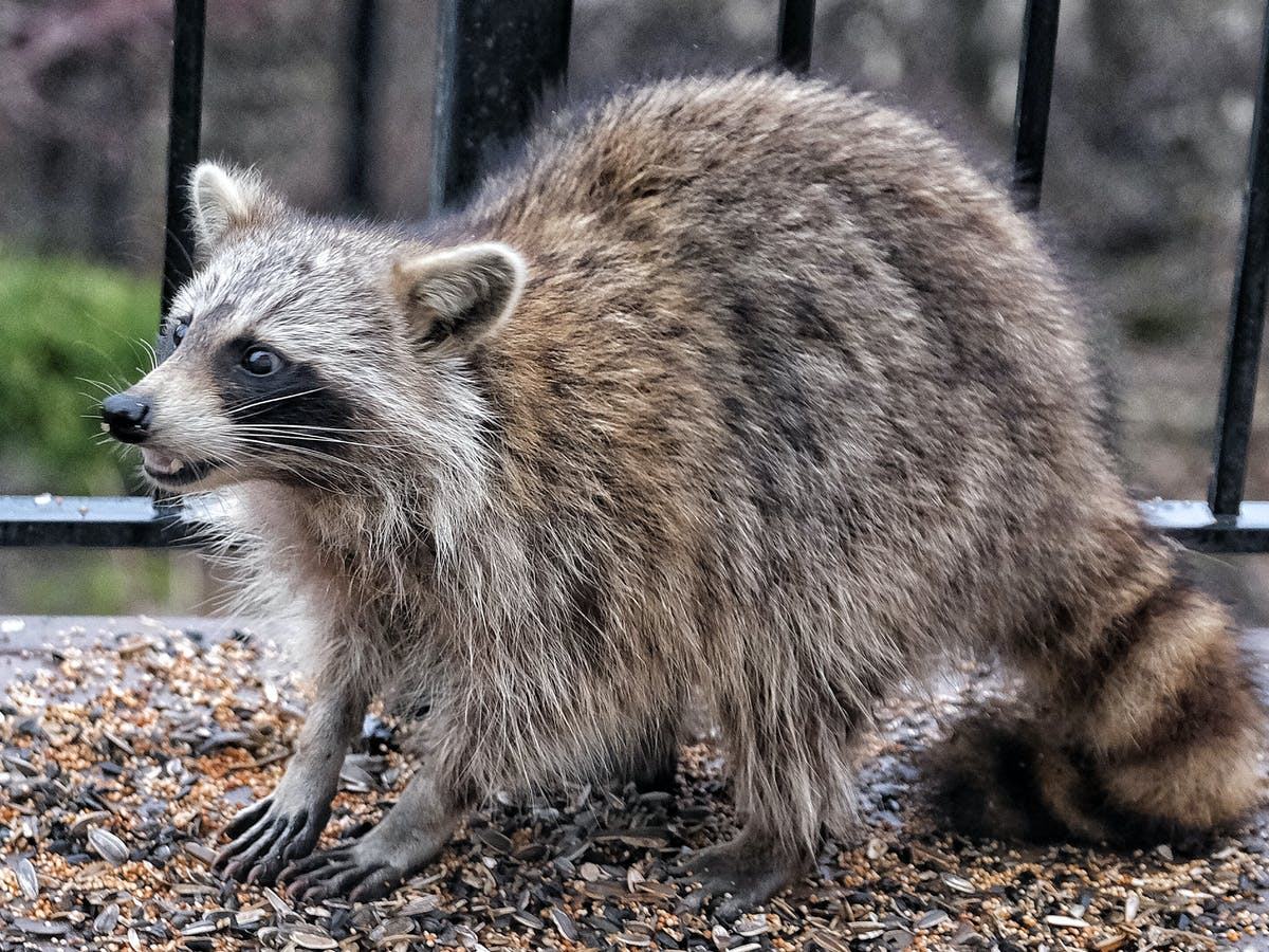 Difference Between Possum and Raccoon