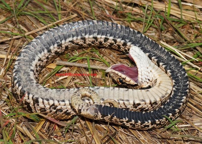Hognose Snake Care Sheet