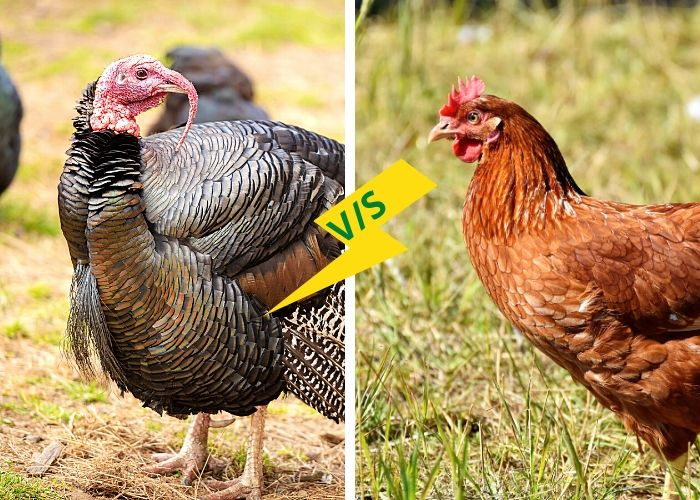 Difference between Turkey and Chicken